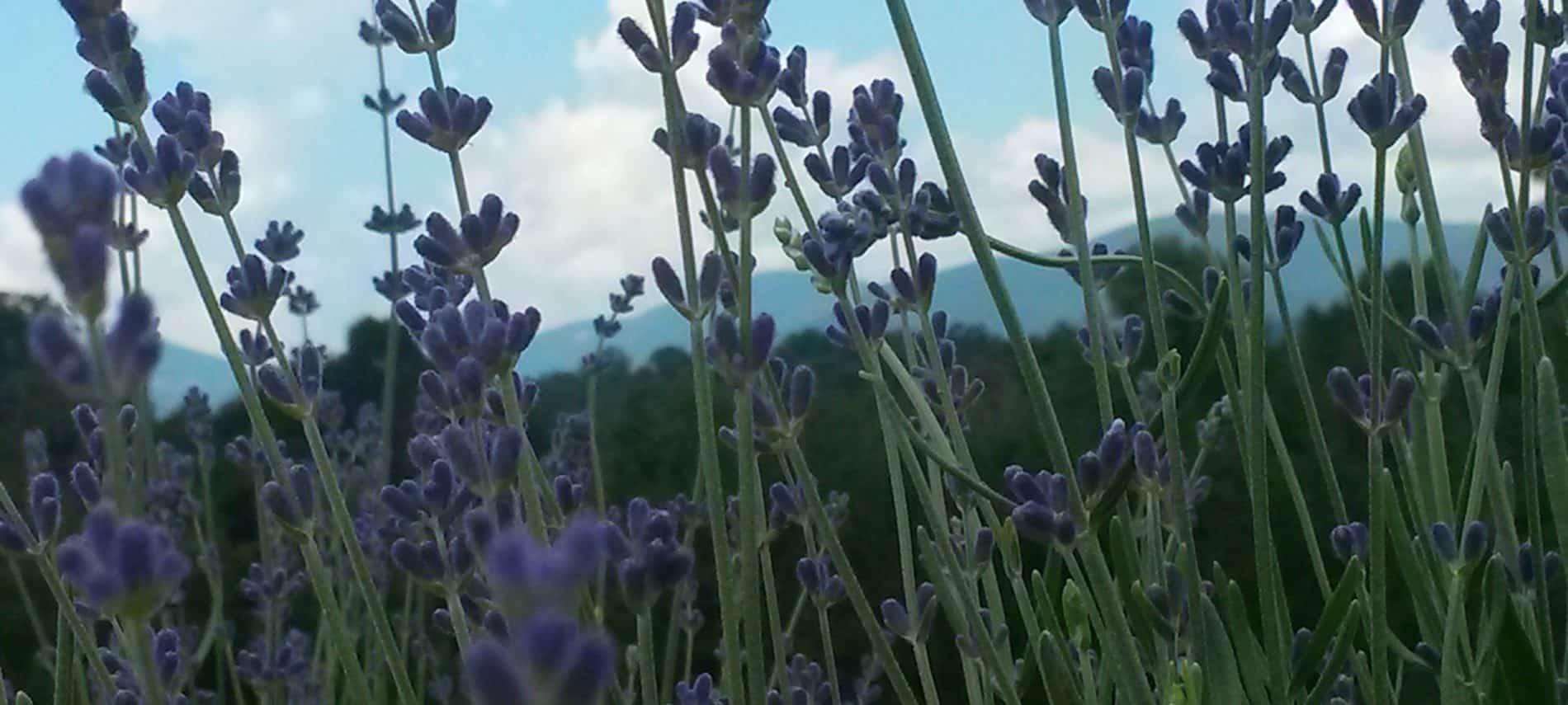 a field of lavender in bloom.