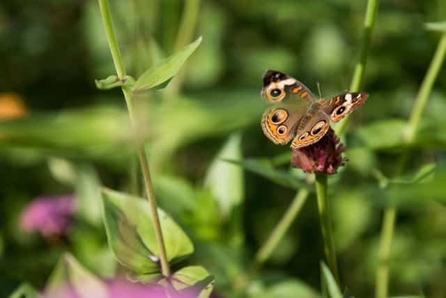 A butterfly in foreground with green leaves of plants out of focus.