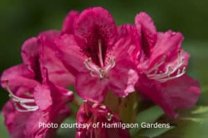 A closeup of a deep rose-colored rhodendrum.