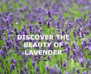 lavender-field-16672927