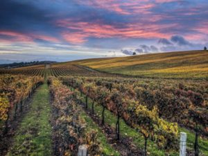 A sunset landscape featuring rolling hills of grapevines.